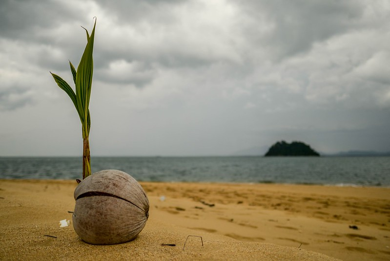 A young coconut bringing life into a stormy night on Pulau Petang Besar